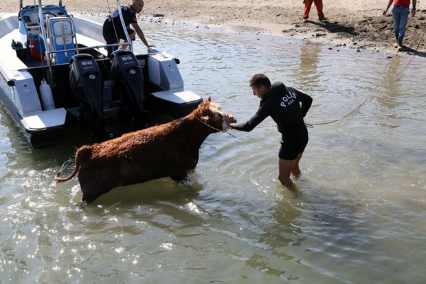 Samsun'da Denize atlayan tosun, polislerce kurtarıldı
