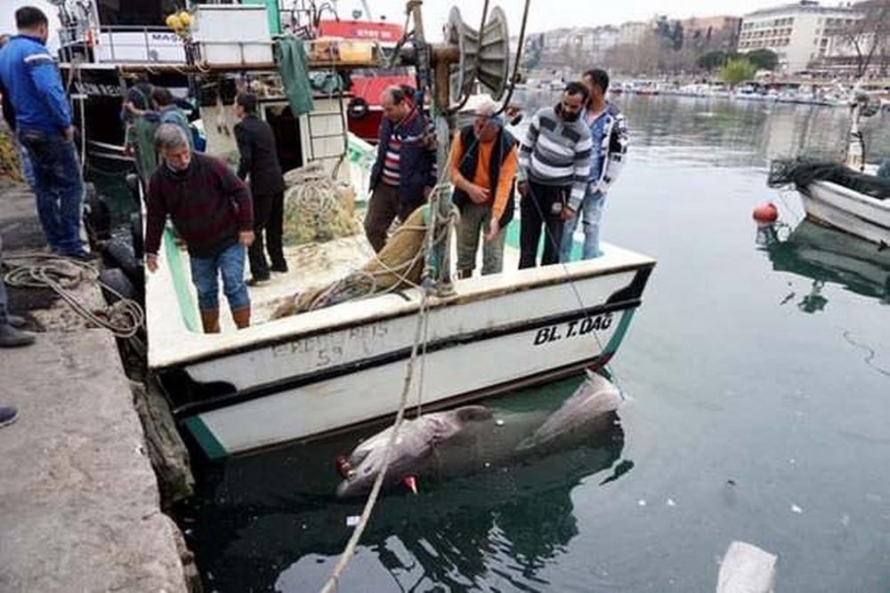 Tekirdağ'da 1 Ton Ağırlığında Köpek Balığı Yakalandı
