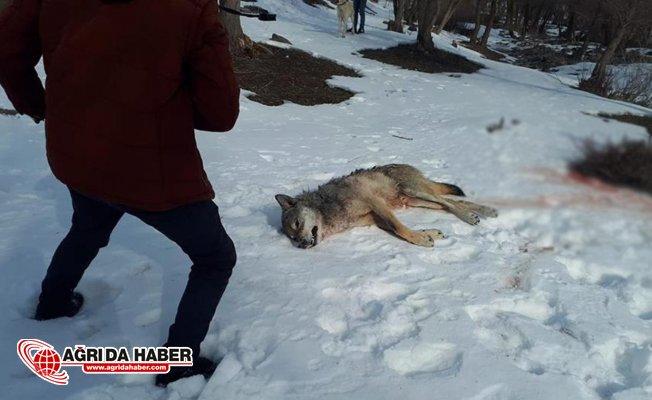 Ağrı'da köye inen aç kurdu köpekler parçaladı