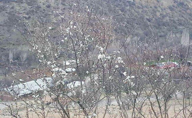 Çemişgezek'te badem ağaçları çiçek açtı