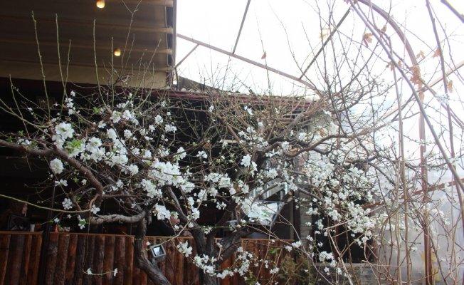 Erzincan'da ağaçlar çiçek açtı