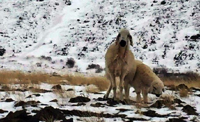 Yaylada kaybolan koyun 3 ay sonra kuzusuyla birlikte bulundu
