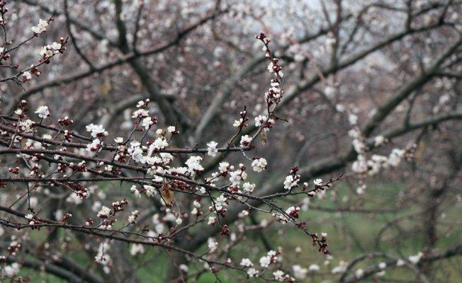 Kayısı ağaçları erken çiçek açtı, üretici tedirgin