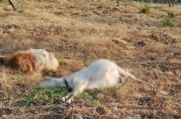 Zeytinleri Yiyorlar Diye 22 Keçiyi Öldürdü