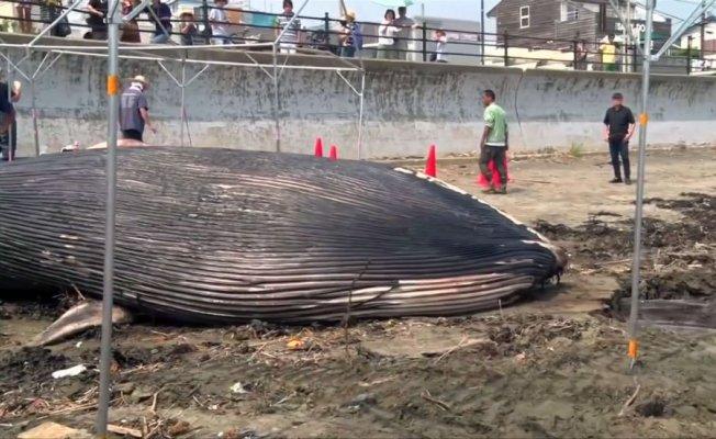 Japonya'da Mavi Balina Karaya Vurdu