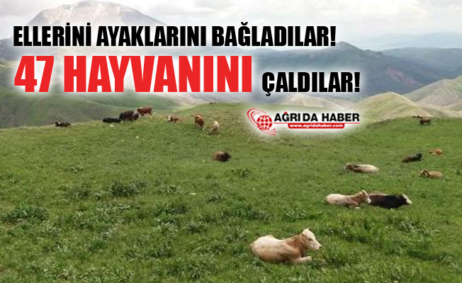 Patnos'ta Besicinin Ellerini ve Ayaklarını Bağlayıp 47 Hayvanını Çaldılar!