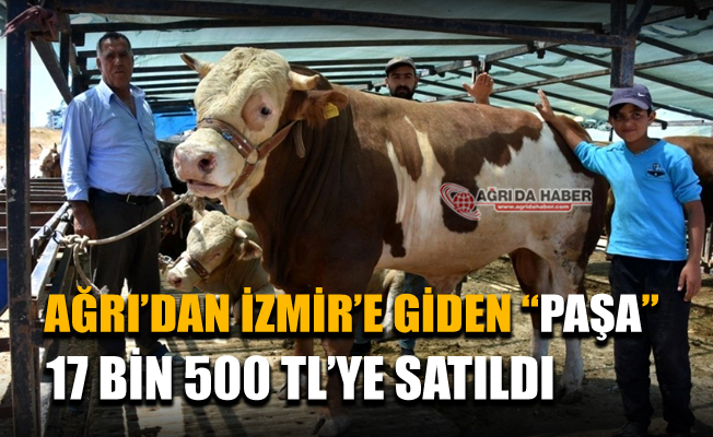 Ağrı'dan İzmir'e giden Dev Kurbanlık Paşa 17 Bin 500 Tl'ye satıldı