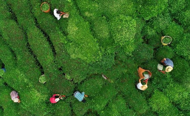 Çay İhracatı 10 Ayda 7 Milyon Dolar Kazandırdı!