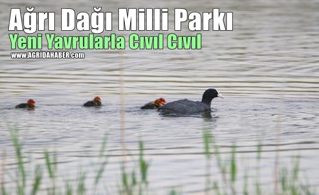 Ağrı Dağı Milli Parkı Yeni Yavrularla Cıvıl Cıvıl