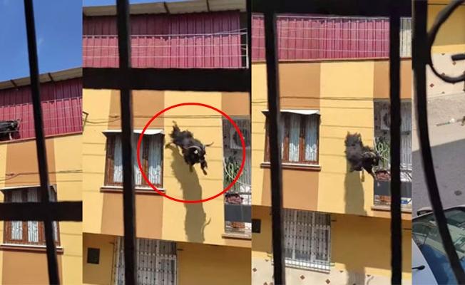 Kurbanlık Keçi Süperman Gibi Uçtu!