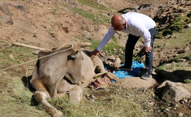 Diyadin'de uçuruma yuvarlanan inek, 8 saat sonra kurtarıldı