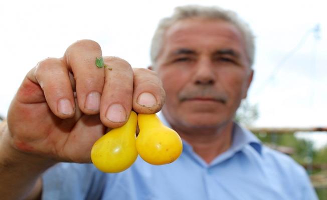 Sarı domatesler dikkat çekiyor