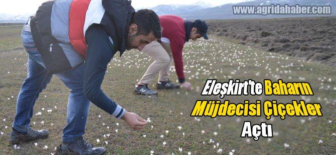 Eleşkirt'te baharın müjdecisi çiçekler açtı