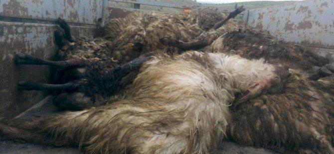 Elazığ'da, kurtlar koyun sürüsüne saldırdı