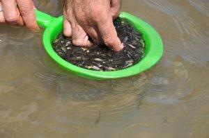 Muş'taki göletlere 80 bin balık bırakıldı