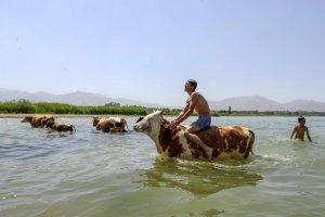 Sıcaktan bunalan hayvanları, Van Gölü'nde serinletiyorlar