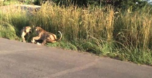 Aslanların Kavgası Turist Kamerasına Yansıdı