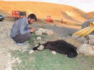 Muş'ta kurtlar koyun sürüsüne saldırdı