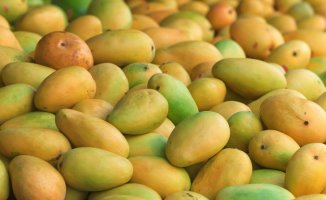Hindistan'da Mango Topladığı İçin Bir Çocuk Öldürüldü