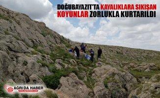 Doğubayazıt'ta Kayalıklara Sıkışan Koyunlar Zorluklar Kurtarıldı