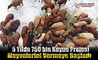 Ağrı'da 5 Yılda 750 bin Koyun projesi meyvelerini vermeye başladı