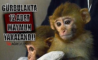 Ağrı'da yakalanan 12 maymun Gaziantep'e götürüldü