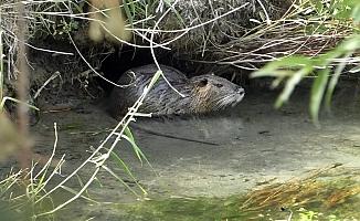 Ağrı Dağı Milli Parkı'nda su maymunları görüldü