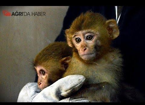 Ağrı Gürbulak'ta 12 adet örümcek türü maymun yakalandı